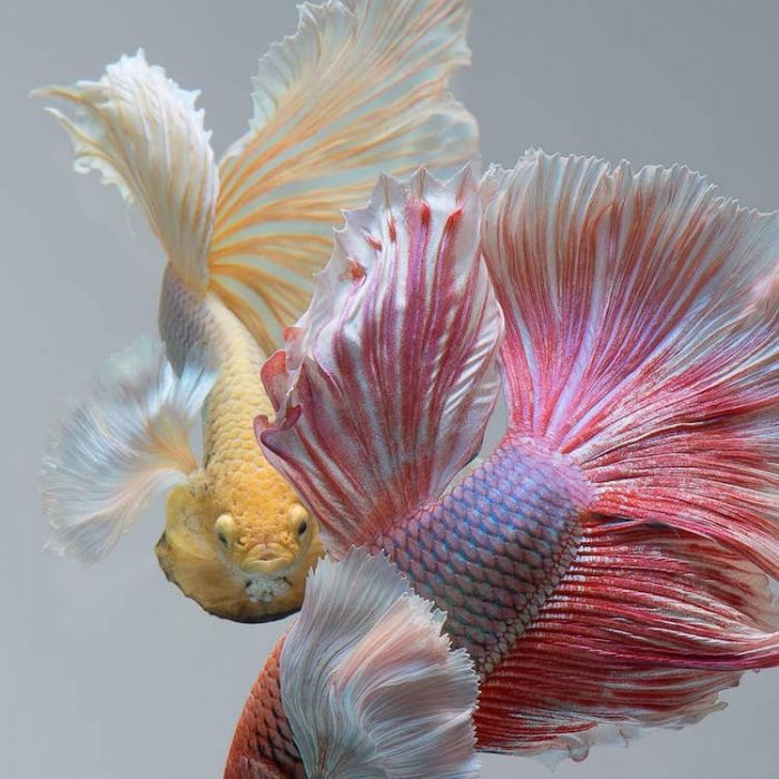 siamese-fighting-fish-portraits-visarute-angkatavanich-9
