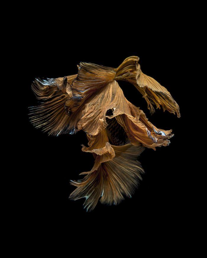 siamese-fighting-fish-portraits-visarute-angkatavanich-13