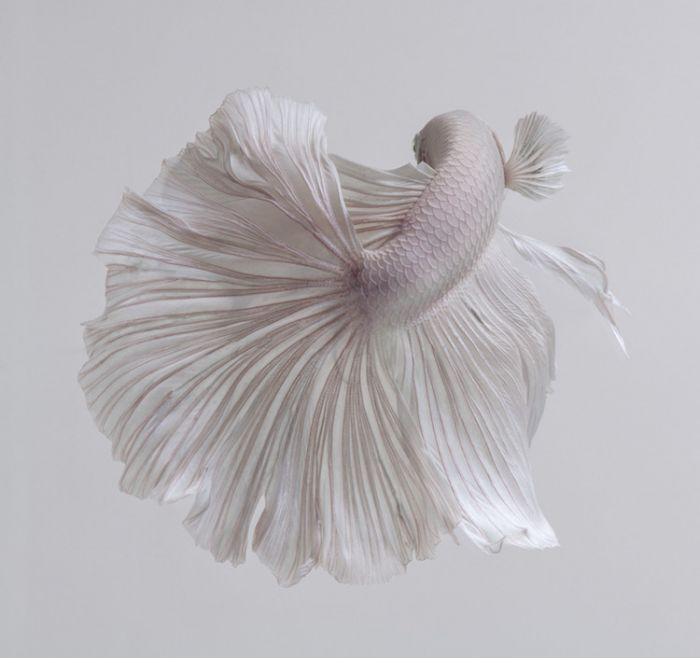 siamese-fighting-fish-portraits-visarute-angkatavanich-15