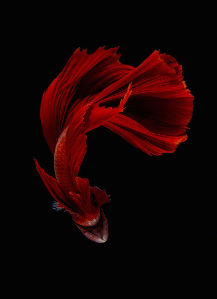 siamese-fighting-fish-portraits-visarute-angkatavanich-17