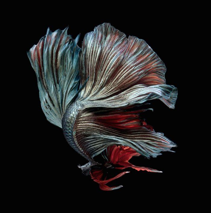 siamese-fighting-fish-portraits-visarute-angkatavanich-20