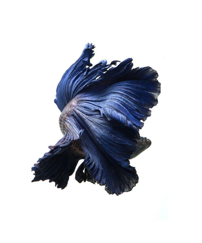 siamese-fighting-fish-portraits-visarute-angkatavanich-21