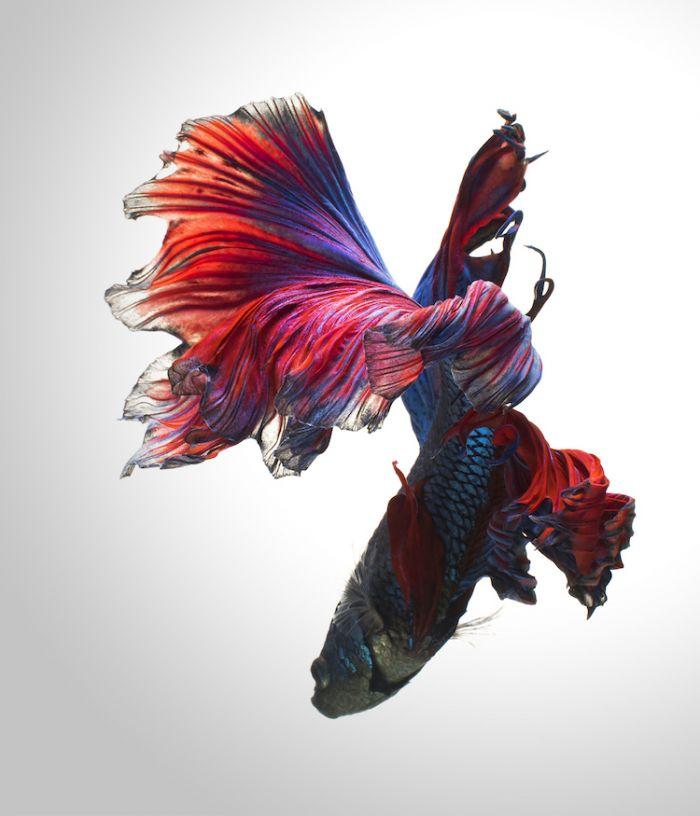 siamese-fighting-fish-portraits-visarute-angkatavanich-18