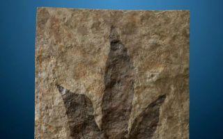 史前动植物化石 拍卖估价过百万人民币