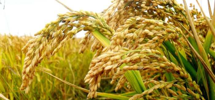 考古发现7000年前南稻北黍共存淮河流域