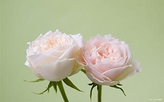 """爱情是朵""""粉色玫瑰"""""""