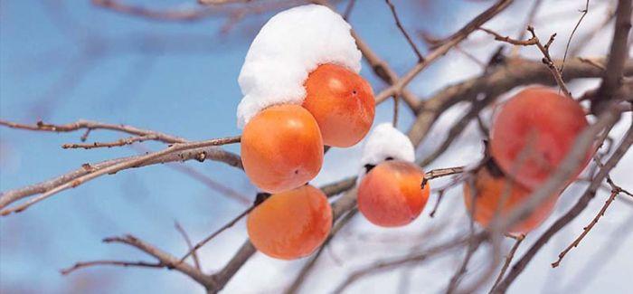 冻柿子 冬日里的一道美味