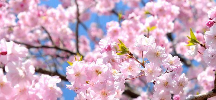 去京都赏樱 感受不一样的美