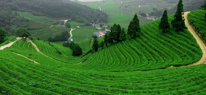 清明旅游新玩法:采春茶