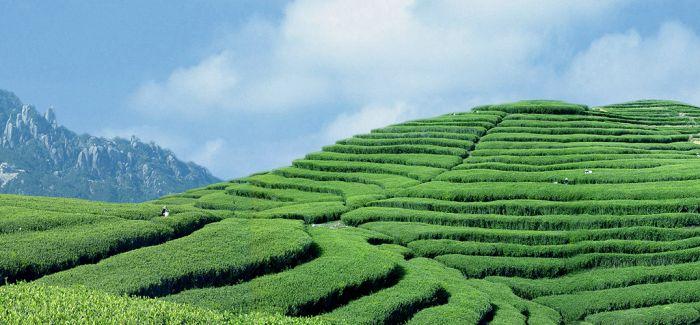 赏春光 品白茶