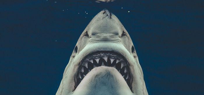 """海底之中 潜行的""""大白鲨"""""""