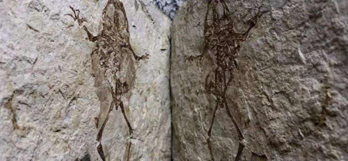 化石定格1亿年前青蛙吞食蝾螈画面