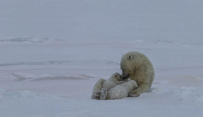 Polar-Bear-Love-Norway-uglefisk-Paal-UglefiskAGORA-images-5d5181cdb6e5b__880