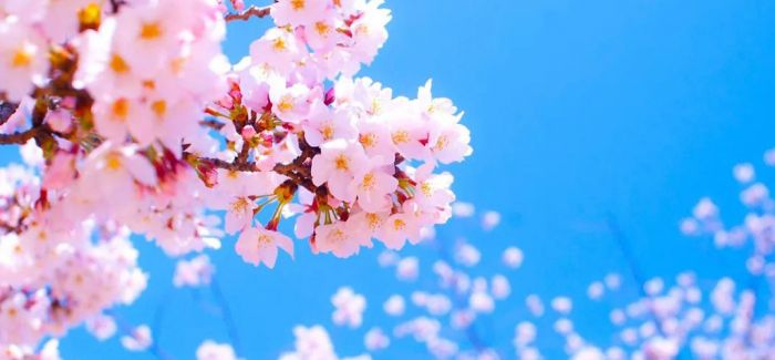 """""""樱花祭""""取消 日本人这样看樱花"""