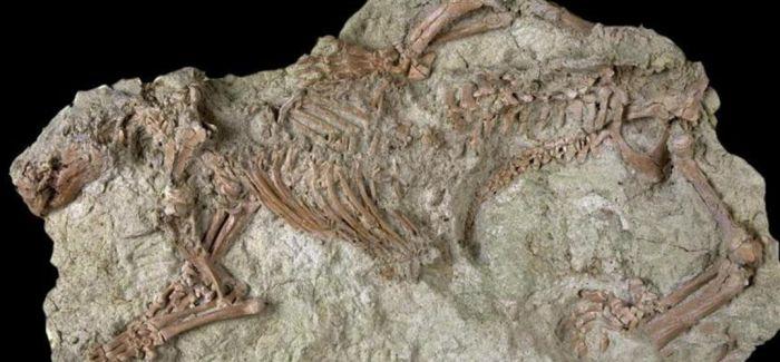 古生物学家发现中生代哺乳动物新物种