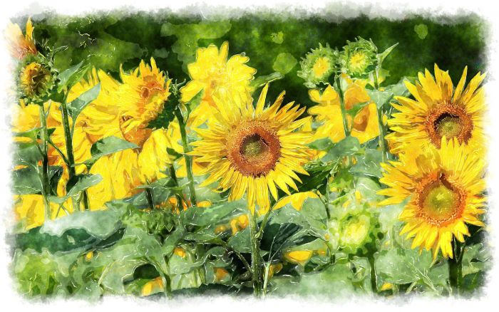 watercolor-painting-sun-flower_01846
