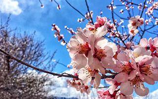 西藏的春天从林芝第一个桃花骨朵开始